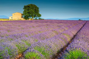 Beautiful purple lavender fields
