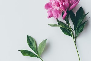 top view of pink peony flower with l