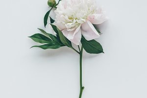 top view of white peony flower with