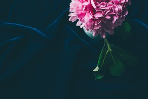 top view of pink peony flowers with