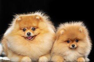 Puppy spitz Dog