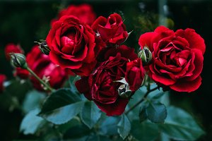 close up view of beautiful red rose