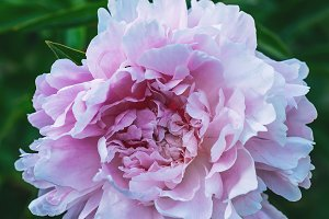 close up of pink peony flower on gre