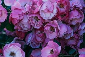 close up view of pink rose flowers o