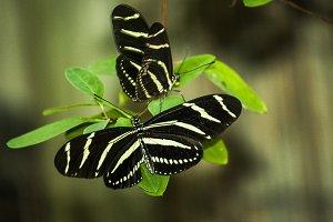 Zebra Striped Butterflies