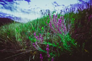 purple lavender on a background of a