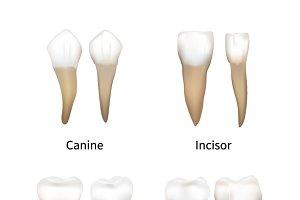 Set of realistic human teeth types