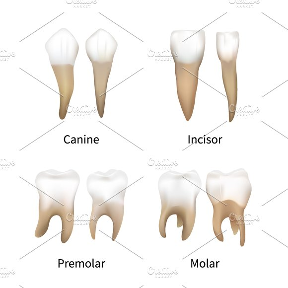 Set Of Realistic Human Teeth Types Graphic Objects Creative Market