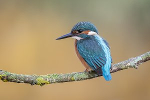 Alcedo atthis, Common kingfisher