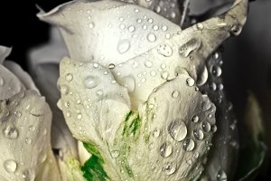 White rose in water drops