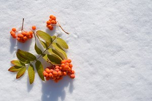 Rowanberry on snow top view