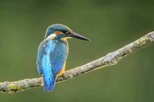Common kingfisher, Alcedo atthis