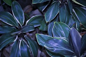 Cold Cordylines