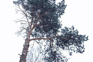 Lonely pine tree in snowflakes