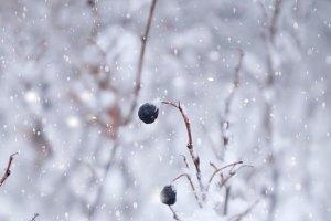 Black berry in snowy garden