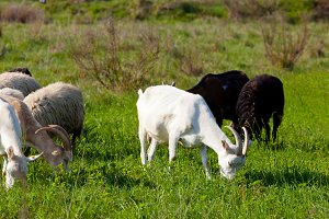 Goats and Sheep eating grass