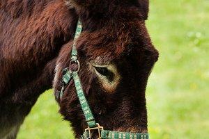 Head of grazing donkey