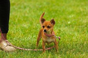 Chihuahua Dog  on green grass.