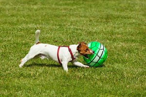 Jack Russell Terrier dog playing wit