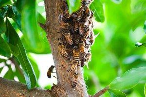 Honeybee Swarm Hanging On A Branch