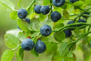 ripe blueberry on green bush