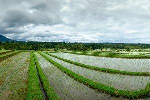 Rice field on terrace in Bali