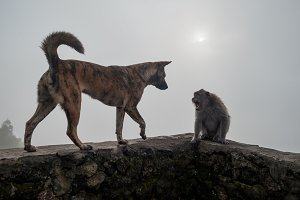 Monkey shouting on dog