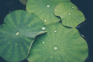 Floral background with lotus leaves