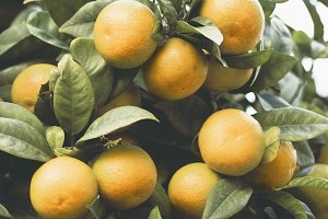 Ripe tangerines on the branches