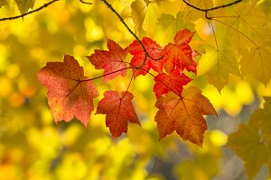 Red colored leaves in Autumn