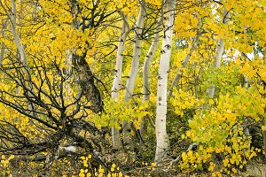 Aspen trees, fall colors