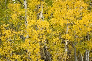Aspen trees, Autumn colors
