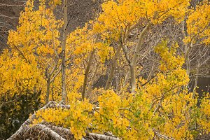 Aspen tree in bloom