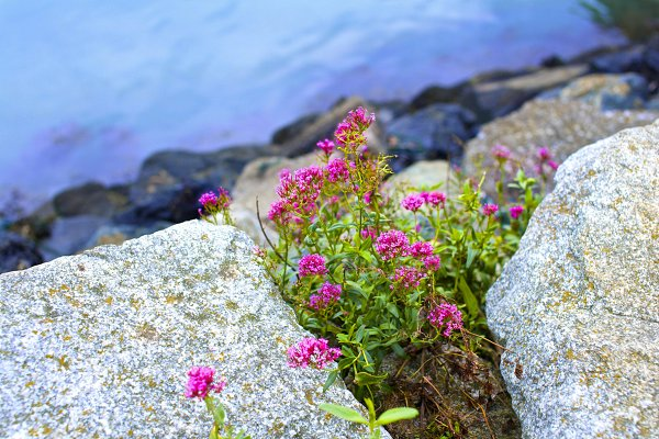 Flowers growing on the stones