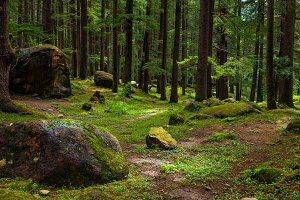 Pine forest with rocks and green