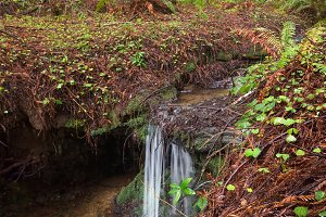 Small Waterfall in a Redwood Forest