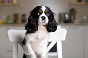 Dog on kitchen chair