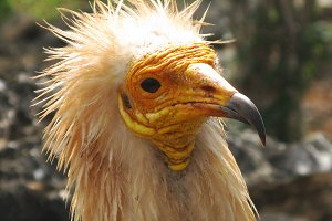 Head of egyptian vulture
