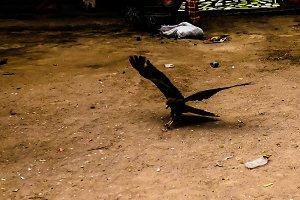 Eagle feeding, national entertainmen