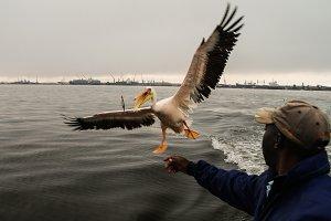The pelican feeding in Walvis Bay