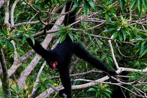 Spider monkey male swinging on the t