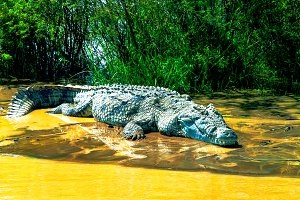 The Nile crocodile in Chamo lake, Et