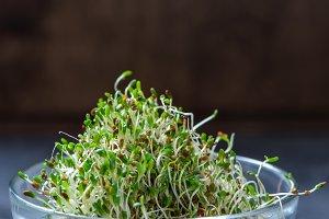 Young sprout microgreen, alfa alfa