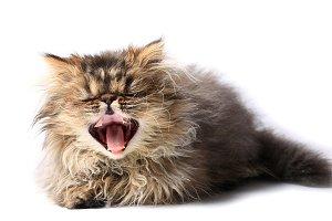 kitten yawning isolated on white bac