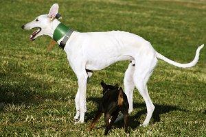 white greyhound and black doggy