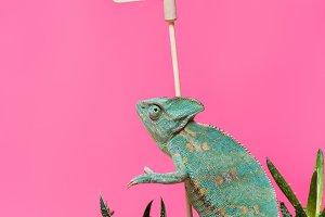 beautiful exotic chameleon near blan