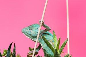 beautiful colorful exotic chameleon
