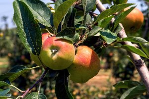 Apples in the apple tree (4)