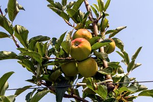 Apples in the apple tree (3)