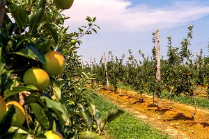 Apple trees lined up in a farming 1